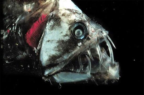 Loài cá này sống ở vùng nước sâu. Cơ thể chúng rất giòn và có những chiếc răng vô cùng sắc.