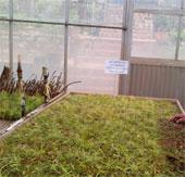 Đà Lạt: nhân giống thông cổ hai lá dẹt