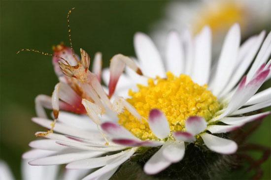 Do sự độc đáo của mình, bọ ngựa phong lan rất được các nhà sưu tầm côn trùng ưa chuộng.