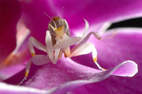 Nhưng không phải ai cũng có cơ hội sở hữu loài bọ ngựa này do chúng rất hiếm và giá rất cao.