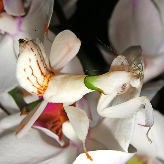Chúng được gọi là bọ ngựa phong lan bởi màu sắc và hình dạng cơ thể rất giống với một đóa phong lan.