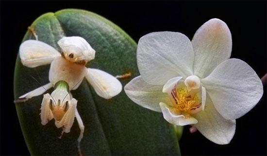 Bốn chân của chúng giống hệt như những cánh hoa lan, trong khi các cặp chi trước có răng cưa giống như các loài bọ ngựa khác được sử dụng trong việc nắm bắt con mồi.