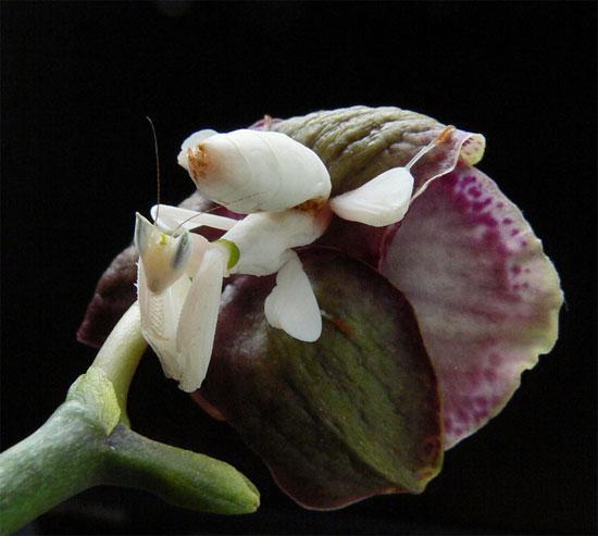 Thay vì đi tìm mồi, loài bọ ngựa này bất động hàng giờ trên đóa hoa, chờ con mồi bay đến để tóm gọn bằng đôi càng sắc bén và tốc độ nhanh như chớp.