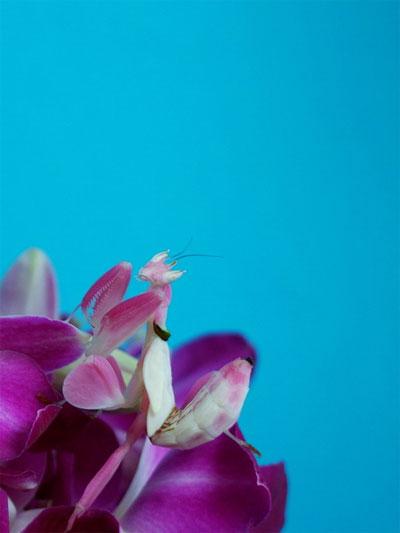 Một điều đặc biệt khác của bọ ngựa phong lan là chúng còn có khả năng thay đổi màu sắc cho phù hợp với đóa hoa mà mình trú ẩn.