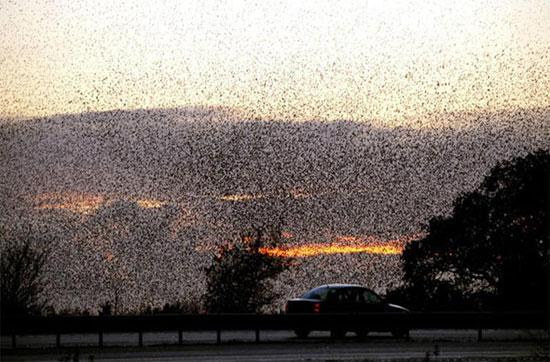 Những đàn chim này thường được tập hợp từ tháng 11 hàng năm. Số lượng con trong đàn được giữ nguyên cho đến mùa xuân, khi chúng bắt đầu ghép đôi.