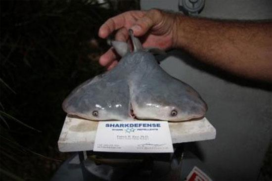Bào thai cá mập bò được phát hiện ở ngoài khơi Mexico.