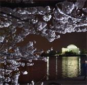 Chùm ảnh hoa anh đào tuyệt đẹp ở Washington (1)