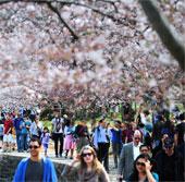Chùm ảnh hoa anh đào tuyệt đẹp ở Washington (2)