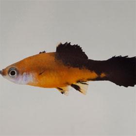 Đã giải mã được bộ gene cá mún