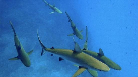 Cá mập Carcharhinus amblyrhynchos.