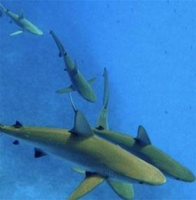 Cá mập lặn sâu hơn khi trăng tròn