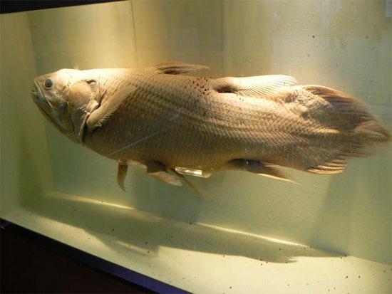 Cá vây tay