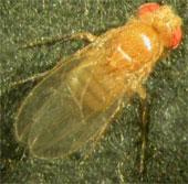 Phát hiện ruồi cũng bị trầm cảm