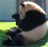 Video: Hình ảnh mẹ con gấu trúc vô cùng dễ thương