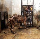 Hổ ở Indonesia mắc bệnh trầm trọng