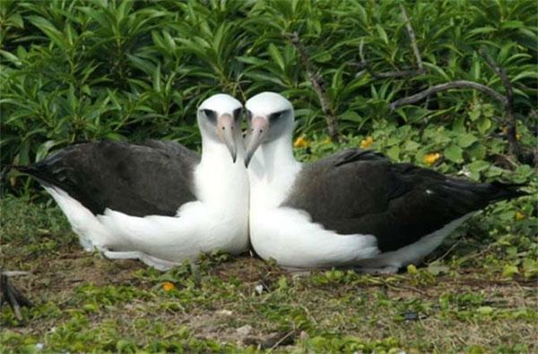 Chim hải âu laysan