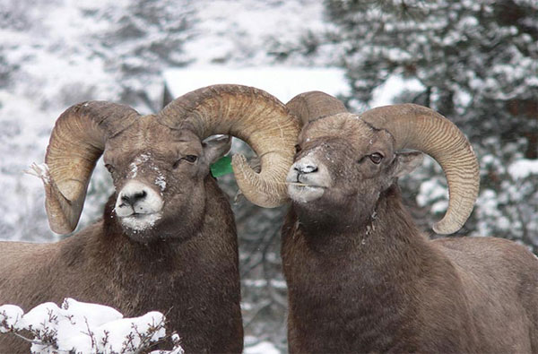 Cừu đực