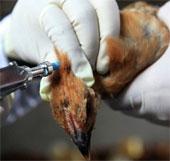 20 người tử vong vì H7N9 tại TQ