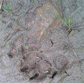 Yên Bái: Phát hiện hai cá thể hổ ở huyện Lục Yên
