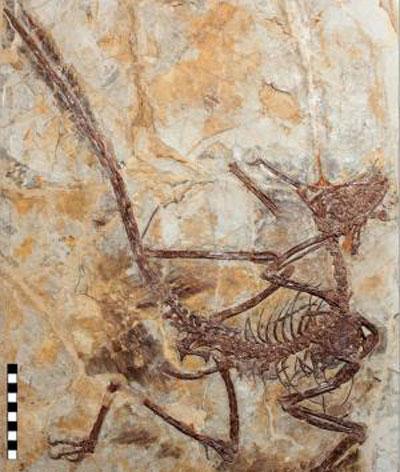 Nghiên cứu mới cho thấy loài khủng long bay nhỏ Microraptor  sở hữu bản năng săn mồi hoàn hảo