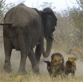 Huyết chiến giữa voi và linh cẩu