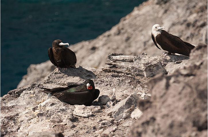 Những con chim chiến, một trong những loài động vật hiếm, đẻ trứng lần đầu tiên trong hai thế kỷ trên đảo Ascencion ở phía nam Đại Tây Dương.