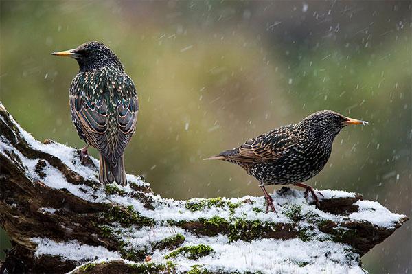 Hai con chim sáo đá châu Âu đậu trên một thân cây đổ khi tuyết rơi tại Anh.