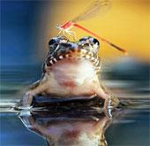 """Khoảnh khắc chuồn chuồn """"trêu ngươi"""" ếch"""