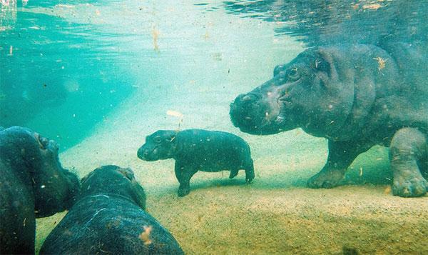 """Hà mã con ra mắt các """"tiền bối"""" trong vườn thú tại thành phố Berlin, Đức."""