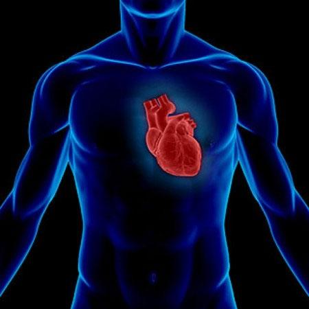 Gene Meis1 ngăn chặn các tế bào tim phân chia, do đó cản trở trái tim của người trưởng thành phục hồi sau tổn thương.