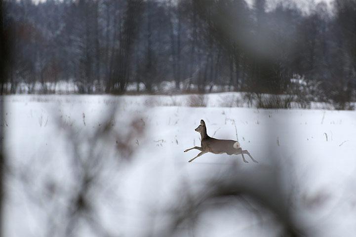 Một con hươu chạy trong khu bảo tồn Nalibokskaya tại Belarus.