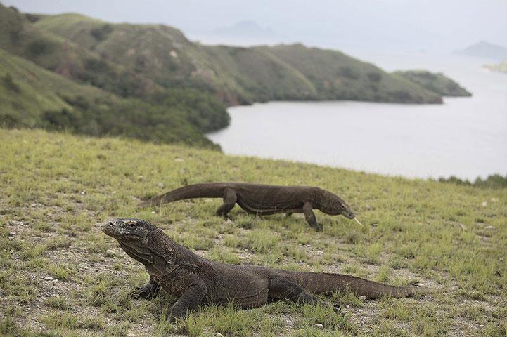 Hai con rồng Komodo trên đảo Komodo thuộc Indonesia.