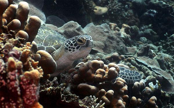 Rùa bơi trong rạn san hô gần đảo Bunaken, Indonesia.