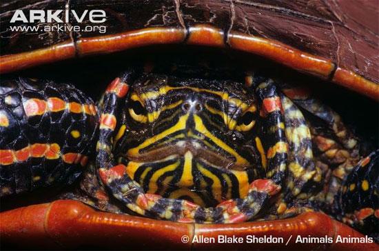 Nghiên cứu gene rùa để chữa bệnh tim mạch