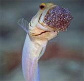 Cận cảnh cá đực nhịn ăn, ấp trứng bằng miệng