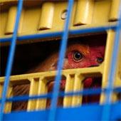 Đài Loan phát hiện trường hợp nhiễm H7N9 đầu tiên