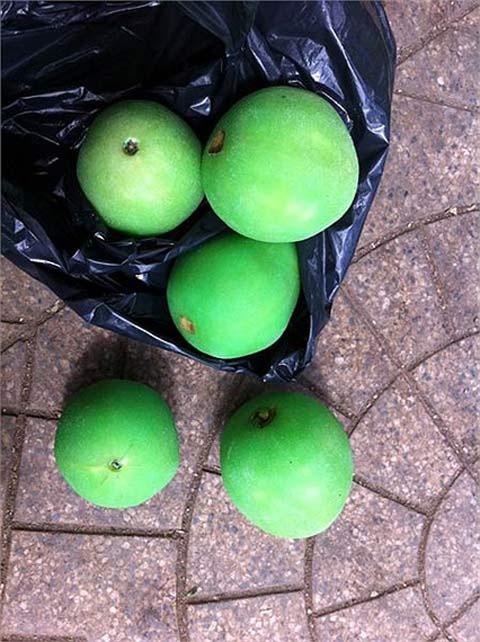 Trái ổi nhuộm hóa chất có màu xanh như quả bóng tennis.