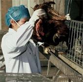 Thêm 2 tỉnh Trung Quốc bùng phát dịch H7N9