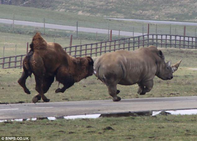 Cảnh tượng lạc đà tức giận rượt đuổi tê giác trắng được Ian Turner ghi lại được trong công viên động vật hoang dã Longleat ở Wiltshire, Anh. Ian Turner là một nhân viên của công viên này.