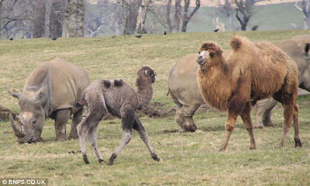 Sự việc xảy ra khi một con tế giác trắng mới được chuyển đến công viên mon men tới gần một chú lạc đà con.
