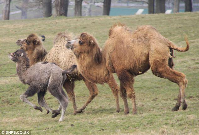 Nghĩ rằng con tê giác có thể làm hại đứa con 1 tháng tuổi của nó, lạc đà bố đã xông tới bảo vệ đàn con.