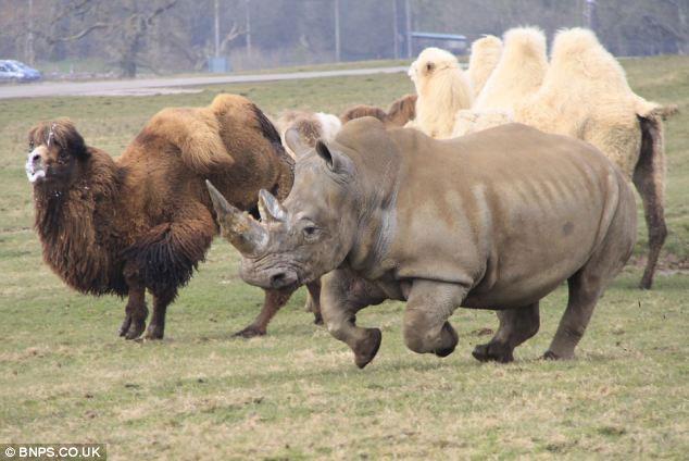 Trước vẻ mặt đầy tức giận và hiếu chiến của lạc đà bố, con tê giác đã quay đầu bỏ chạy.
