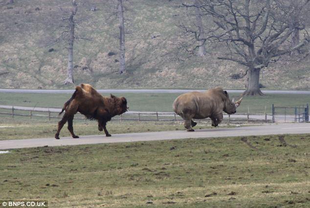 Để đảm bảo cho đàn con, lạc đà bố tiếp tục rượt đuổi tê giác trắng.