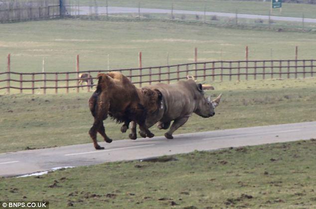 Khi đuổi kịp con tê giác, lạc đà đã cắn vào mông tê giác trước khi tha cho nó.