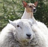 Cừu hành xử như chó