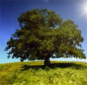 Tranh cãi về cây gây ung thư phổi