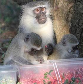 Văn hóa trong thế giới khỉ