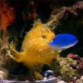 Video: Cần câu độc đáo của cá vây chân