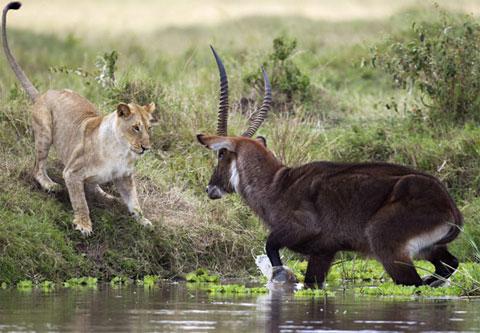 Hươu nước đánh sư tử