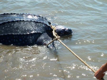 Thả con rùa quý hiếm về biển